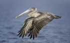Brown Pelican by Kris Bell