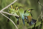 Rainbow Bee-eaters by Kris Bell
