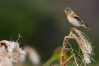 Brambling by Romano da Costa