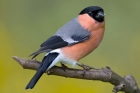 Bullfinch by Romano da Costa