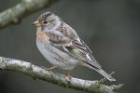 Brambling by Mick Dryden