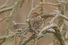 Little Bunting by Mick Dryden