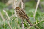 Reed Bunting by Mick Dryden