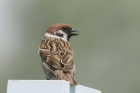 Tree Sparrow by Mick Dryden