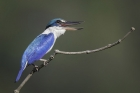 Collared Kingfisher by Kris Bell