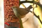Blackcap by Andrew Koester