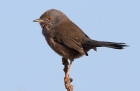 Dartford Warbler by Andy Stoaling