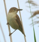 Reed Warbler by Keith Pyman