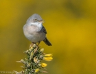 Whitethroat by Tony Wright
