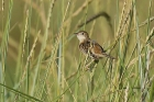 Zitting Cisticola by Mick Dryden