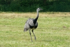Greater Rhea by Graham Parkes