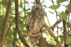 African Scops Owl by Mick Dryden