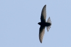 Common Swift by Mick Dryden
