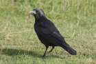 Carrion Crow by Mick Dryden