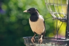 Rose coloured Starling by Angela Allen