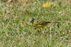 Blue headed Wagtail by Mick Dryden