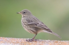 Rock Pipit by Mick Dryden