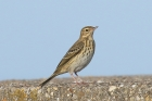 Tree Pipit by Mick Dryden