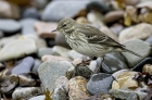 Water Pipit by Romano da Costa