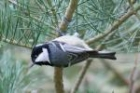 Coal Tit by Mick Dryden