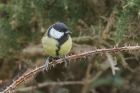Great Tit by Mick Dryden