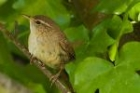 Wren by Chris Morgan