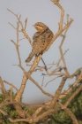 Wryneck by Kris Bell