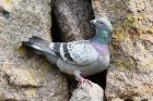Feral Rock Dove by Mick Dryden
