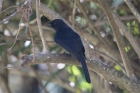 Northern Black Flycatcher by Tony Paintin