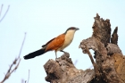 Senegal Coucal by Tony Paintin