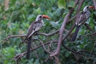 Western Red-billed Hornbill by Tony Paintin