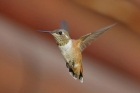 Rufous Hummingbird by Mick Dryden