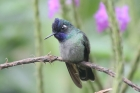Violet-headed Hummingbird by Mick Dryden