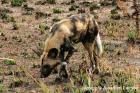 Wild Dog by Jonathan Lanyon