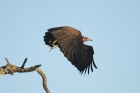 Hooded Vulture by Mick Drydsen