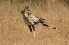 Secretary Bird by Mick Dryden