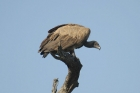 White-backed Vulture by Mick Dryden