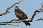 Yellow billed Kite by Mick Dryden