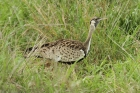 Black-bellied Bustard by Mick Dryden