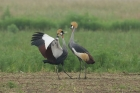 Grey crowned Crane by Mick Dryden