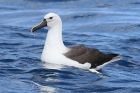 Indian Yellow nosed Albatross by Mick Dryden