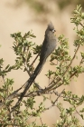 Speckled Mousebird by Mick Dryden