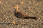Collared Pratincole by Mick Dryden