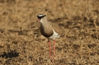 Crowned Lapwing by Mick Dryden