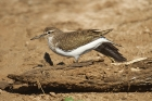 Common Sandpiper by Mick Dryden