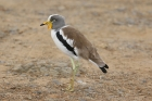 White crowned Lapwing by Mick Dryden
