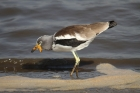 White-crowned Lapwing by Mick Dryden