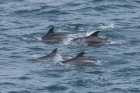 Bottle-nosed Dolphins by Mick Dryden