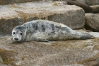 Grey Seal by Mick Dryden