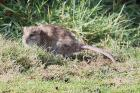 Brown Rat by Mick Dryden